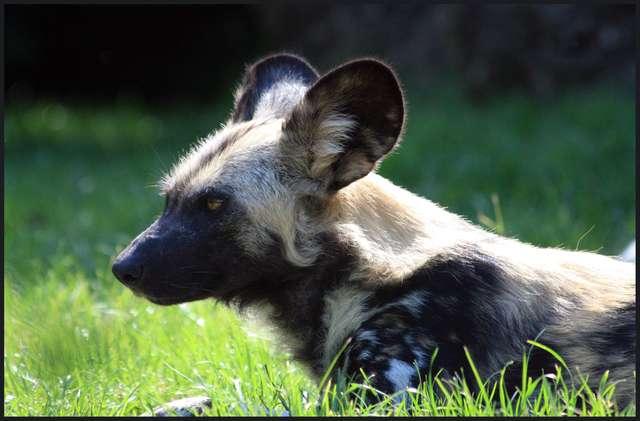 wildhund1.jpg